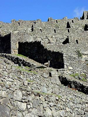Ancient Photograph - Machu Picchu Llama by Roger Burkart