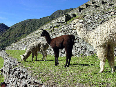 Ancient Photograph - Machu Picchu Llamas On Terrace by Roger Burkart
