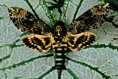 Agrius Photograph - Macro Closeup Of The Death Head Hawkmoth by Leslie Crotty
