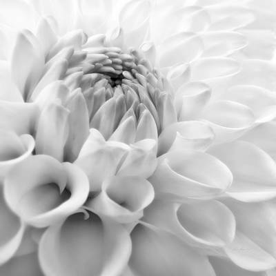 Platinum Photograph - Macro Dahlia Flower Monochrome by Jennie Marie Schell