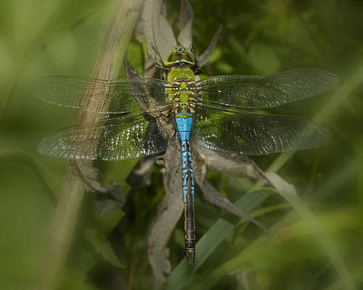 Wasp.insect Digital Art - Macro Dragonfly by Jack Zulli