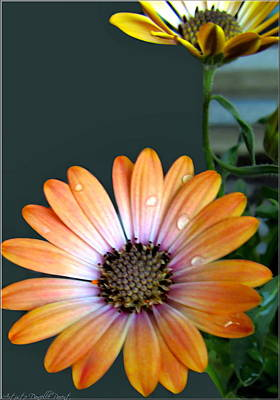 Macro Orange And Yellow Daisies With Water Droplets Print by Danielle  Parent