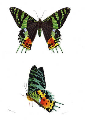 1859 Photograph - Madagascan Sunset Moth by Collection Abecasis