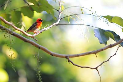 Madagascar Fody Aka Red Cardinal Fody Print by Jenny Rainbow