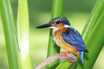 Madagascar Kingfisher Print by Dr P. Marazzi