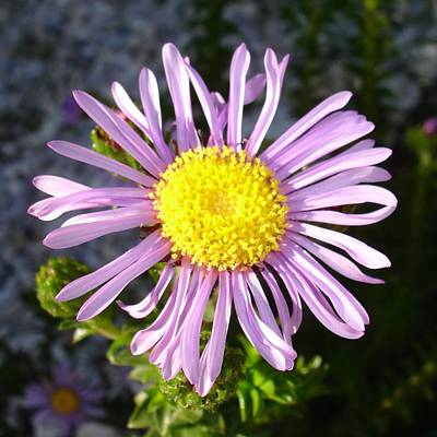 Aster Photograph - Magenta Aster A Star Of Love And Fidelity by Tracey Harrington-Simpson