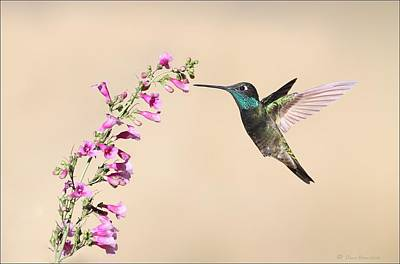 Hummingbird Photograph - Magnificent Hummingbird by Daniel Behm