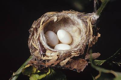 Magnificent Hummingbird - Eugenes Fulgens Photograph - Magnificent Hummingbird Eggs by Gerry Ellis