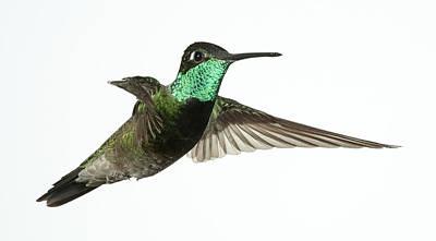 Magnificent Hummingbird - Eugenes Fulgens Photograph - Magnificent Hummingbird Hovering by Gregory Scott