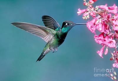Magnificent Hummingbird - Eugenes Fulgens Photograph - Magnificent Hummingbird Male by Anthony Mercieca