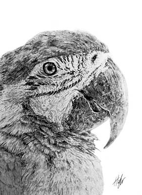 Macaw Drawing - Magnificent Macaw by Hannah Taylor
