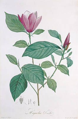 Magnolia Discolor Engraved By Legrand Print by Henri Joseph Redoute