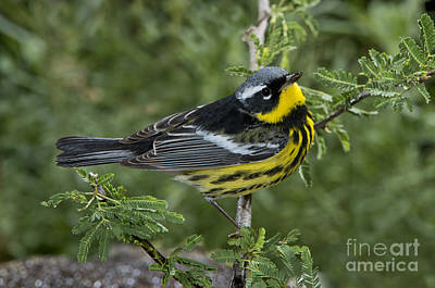 Magnolia Warbler Photograph - Magnolia Warbler by Anthony Mercieca