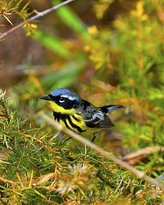 Magnolia Warbler Photograph - Magnolia Warbler In The Pines by JLambe Photography