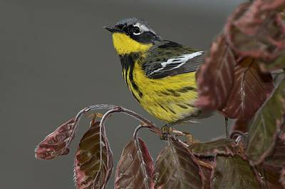 Magnolia Warbler Photograph - Magnolia Warbler by JLambe Photography