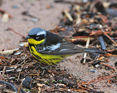 Magnolia Warbler Photograph - Magnolia Warbler Male On Beach by Karl Bardon
