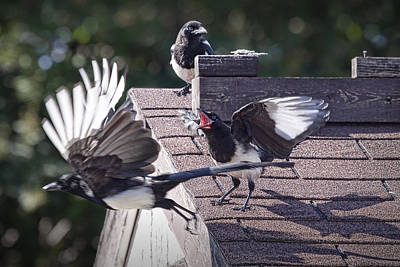 Magpies Photograph - Magpie Dispute by Randall Nyhof