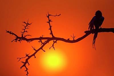 Magpie Shrike Print by Bildagentur-online/mcphoto-schaef