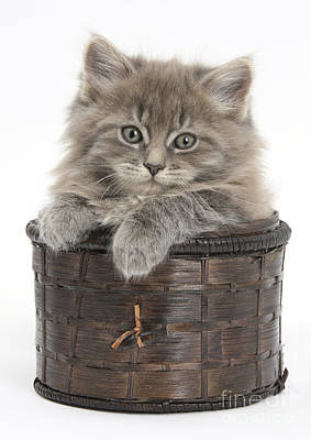 House Pet Photograph - Maine Coon Kitten, Basket by Mark Taylor