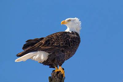 Majestic Bald Eagle Original by John Absher