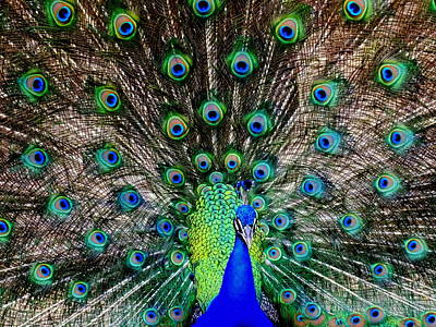Peacock Photograph - Majestic Blue by Karen Wiles