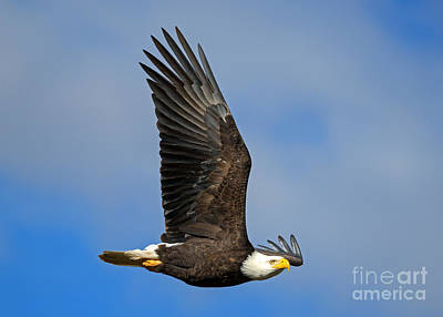 American Bald Eagle Photograph - Majestic Glide by Mike Dawson