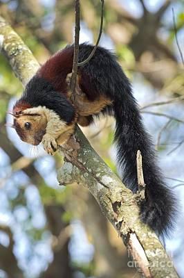 Gnaw Photograph - Malabar Giant Squirrel by Tony Camacho