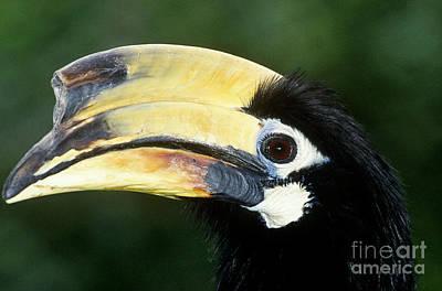 Hornbill Photograph - Malabar Pied Hornbill by Art Wolfe