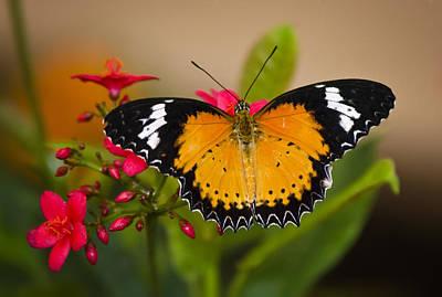 Lacewing Photograph - Malay Lacewing  by Saija  Lehtonen