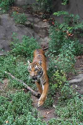 Cat Photograph - Malayan Tiger by Judy Whitton