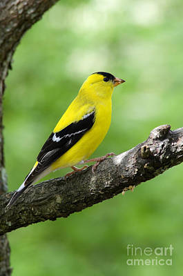 Bunting Photograph - Male American Goldfinch by Thomas R Fletcher