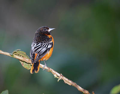 Oriole Photograph - Male Baltimore Oriole, Icterus Galbula by Thomas Wiewandt