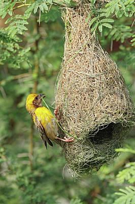 Bird Nest Photograph - Male Baya Weaver Bird Building by Jagdeep Rajput