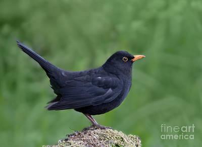 Blackbird Photograph - Male Blackbird Turdus Merula by Liz Leyden