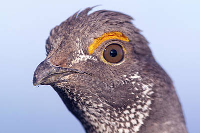 Bison Photograph - Male Blue Grouse At The National Bison by Chuck Haney