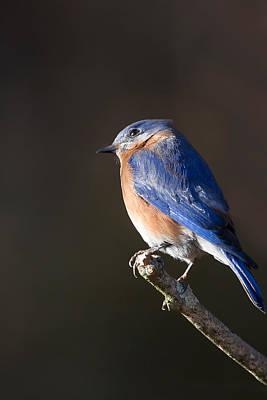 Bluebird Photograph - Male Bluebird by Bill Wakeley