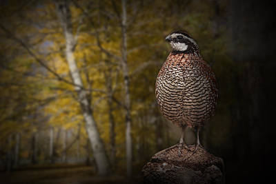 Gamebird Photograph - Male Bobwhite Quail by Randall Nyhof
