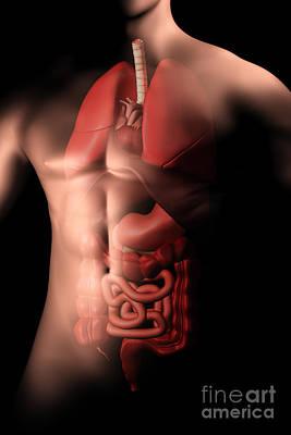 Internal Organs Digital Art - Male Body With Internal Organs by Stocktrek Images