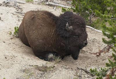 Male Buffalo At Hot Springs Print by Belinda Greb