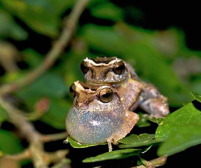 Tree Frog Photograph - Male Bush Frogs by K Jayaram
