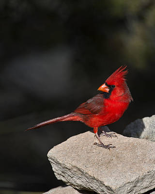Bunting Photograph - Male Cardinal by Gary Langley