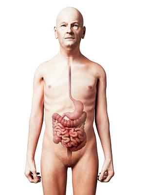 Human Internal Organ Photograph - Male Digestive System by Sebastian Kaulitzki