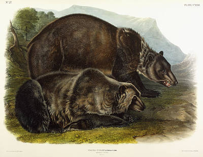 Hunters Painting - Male Grizzly Bear by Audubon