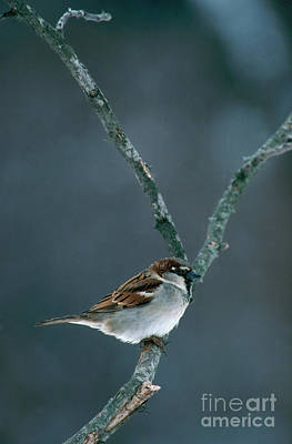 Sparrow Photograph - Male House Sparrow by Larry West