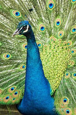 Male Indian Peacock Print by Darleen Stry