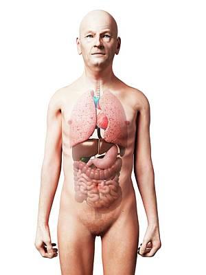Internal Organs Photograph - Male Internal Organs by Sebastian Kaulitzki