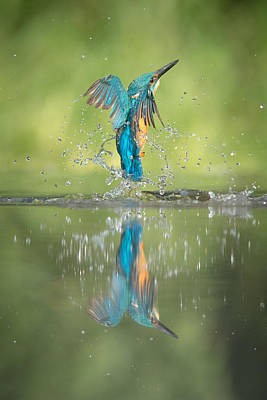Male Kingfisher Print by Andy Astbury