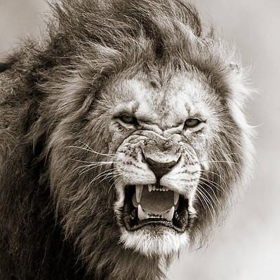 Male Lion I Masai Mara Kenya Print by Regina Mueller