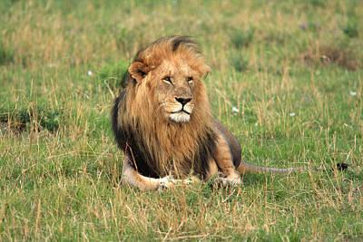 Male Lion On The Masai Mara Print by Aidan Moran
