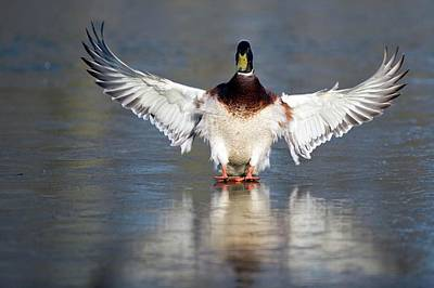 Wild Ducks Photograph - Male Mallard Landing On Water by Bildagentur-online/mcphoto-rolfes